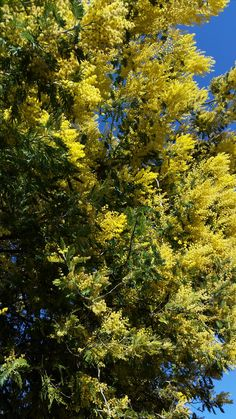 Mimosa(tree) for all moms! GOD BLESS all moms in the world in JESUS' Name Amen! http://www.just-commerce.net