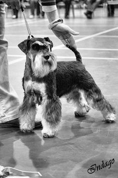 http://IndagoDogPhotography.co.uk   Miniature schnauzer in the ring