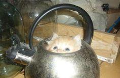 Gatos Buscando un poco de té