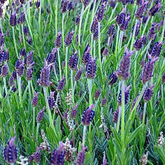9 Beautiful Low-Water Plants Hedge lavender (Lavandula x intermedia 'Grosso') Like other varieites of lavender, this will succeed in cool coastal or mountain climates or inland valleys and deserts--essentially a great pick for a low-water garden. Love Garden, Water Garden, Dream Garden, Garden Plants, Witch's Garden, Drought Tolerant Garden, Lavender Garden, Lavender Oil, Easy Care Plants