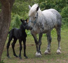 Percheron: Is a breed of draft horse originating from the Huisne river valley. Usually grey or black, well muscled known for intelligence and willing to work. They were used in war, pulling coaches, and hauling heavy goods. They vary between 15.1 to 18.1 and155 to 185 cm weight 500 to 1,200 kg.