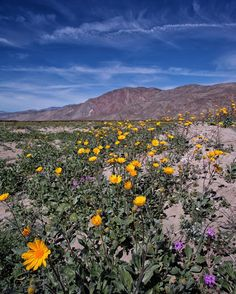 This desert in the Southwest is experiencing a wildflower 'superbloom' - The Washington Post