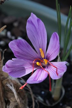 Saffron-Crocus Flower: Crocus sativus. The three longer and darker-orange thread-like structures constitute the styles and stigmas that each Crocus flower yields at saffron harvesting time, manually by hand. No wonder Saffron is the most expensive spice in the world. - Flickr - Photo Sharing!