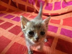 Man Found Tiny Kitten on Sidewalk, Barely Moving - 24 Hours Later, the Kitty Bounced Back. Crazy Cat Lady, Crazy Cats, Pretty Cats, Cute Cats, Teacup Kitten, Animals And Pets, Cats And Kittens, Fur Babies, Funny