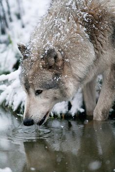 A wolf on acid. Tagged with wolf Wolf Spirit, My Spirit Animal, Wolf Pictures, Animal Pictures, Trippy Pictures, Beautiful Creatures, Animals Beautiful, Tier Wolf, Animals And Pets