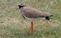 An image of a crowned plover or lapwing bird photographed at Cape st. Tanzania, Kenya, Port Elizabeth, Sea Birds, Nature Photography, African, Animals, Villas, Google Search