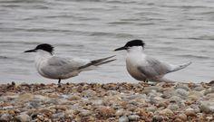 Terns in Rye Harbor (beach nesters) Rye Harbour, Harbor Beach, Animals, Animales, Animaux, Animal, Animais