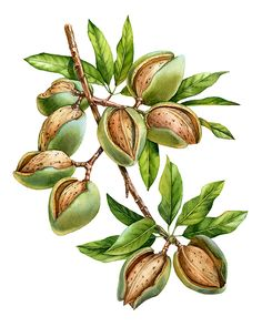 Watercolor botanical illustration of Almond nuts tree for labels by Kateryna Savchenko Illustration Blume, Fruit Illustration, Watercolor Illustration, Vintage Botanical Illustration, Botanical Drawings, Botanical Prints, Watercolor Plants, Fruit Painting, Vintage Flowers