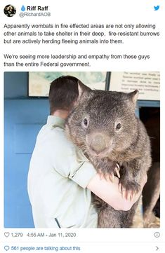 Oh lord, no they aren't, this was a rumour started by the diary of a wombat books. I didn't think anyone actually believed this, iconic Cute Funny Animals, Cute Baby Animals, Funny Cute, Animals And Pets, Animal Facts, Animal Memes, Yorkshire Terrier, Mundo Animal, Beautiful Creatures