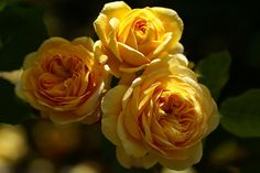 Yellow Charles Austin, English rose by Peter Karlsson, via Flickr