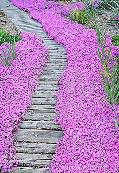 Love how the flowers soften the edges of the wooden walkway...