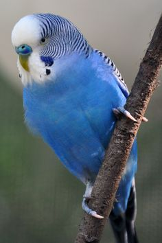 "Australian Budgerigar - dad loved his blue budgie ""Billie Boy"" until mum ""accidentally"" let him out of his cage. Funny Birds, Cute Birds, Pretty Birds, Beautiful Birds, Animals Beautiful, Beautiful Pictures, Blue Budgie, Blue Parakeet, Parakeet Colors"