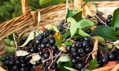 Learn about aronia berries, how aronia berries are grown and the health benefits of aronia berries. Aronia berries or chokeberries are packed with vitamins. Berry, Aronia Melanocarpa, Kiwi, Healthy Body Weight, Food Articles, Red Fruit, Lower Cholesterol, Healthy Fruits, Medicinal Plants