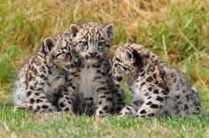 3 Beautiful Snow Leopard cubs.
