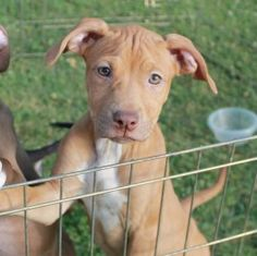 Amber - 3 1/2 mths old is an adoptable Pit Bull Terrier Dog in Albany, NY. Amber is just 3-1/2 months old. She is a sweet, affectionate pup who is living with multiple dogs and a cat. She has started ...