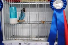 Nigrigenis Blue - Barcelos 2014 - Courtesy Luis Grencho Bird Poster, Love Pet, Nature Wallpaper, Exotic Pets, Arabic Sweets, Puerto Rico, Blue, Birds, Animals