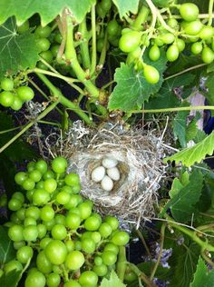 Canary nest in the grape vine at Bodegas El Grifo
