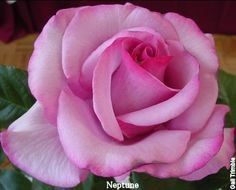 Neptune Rose.....