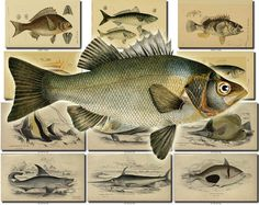 FISHES-38 Collection of 67 vintage images Ray Gurnard Shark Saw Sword Chelmon Sun picture High resolution digital download printable animals           data-share-from=listing        >           <span class=etsy-icon