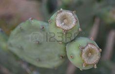 Cactus Fruit, Cactus