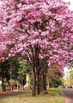 Trees Ipê Roxo