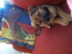 Cutest puppy ever! German Shepard Rottweiler mix!