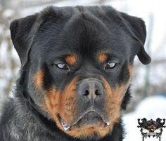 Rottweiler's photo. #rottweiler
