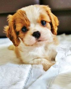 If we ever get a puppy it's going to be a Cavalier King Charles Spaniel.