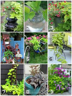 Sweet potato vine (Ipomoea butatas) is easy-to-grow from sun to shade. It& low maintenance and adds eye-popping beauty to the garden. Plants, Shade Plants Container, Small Vegetable Gardens, Potato Vines, Foliage Plants, Growing Sweet Potatoes, Garden Vines, Growing Flowers, Potted Plants Outdoor