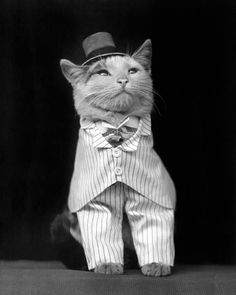 The Dapper Cat, 1906. Vintage Photo Digital Download. Black & White Photograph. Oddity, Curiosity, Pets, Animals, Historical. by HistoryPhoto on Etsy https://www.etsy.com/uk/listing/259338780/the-dapper-cat-1906-vintage-photo