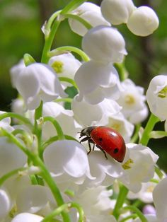 Lily Of The Valley & Ladybug My Flower, White Flowers, Flower Power, Beautiful Flowers, Beautiful Bugs, Amazing Nature, Lily Of The Valley Flowers, Belle Photo, Planting Flowers