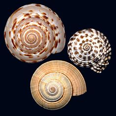 Architectonicidae Shell Game, Shell Collection, Snail Shell, Underwater Creatures, Shell Beach, Sea Shells, Marine Life, Sea Creatures, Under The Sea