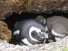 Manchot et son bébé endormi sur l'ile aux manchots de Patagonie