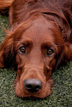 Beautiful Irish Setter - we could just fall into those eyes!