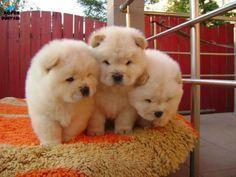 Secereli, safkan ırk garantili, şirinlikleri ile kendilerine aşık edecek Çin Aslanı olarak bilinen Chow Chow yavruları satılıktır. http://www.kopekdunyasi.com/satilik-chow-chow-cin-aslani-yavrulari.html