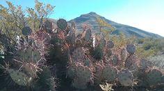 Bishop's cap and purple prickly pear cactus