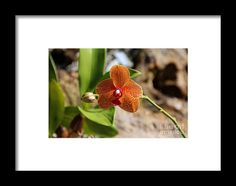 orchid, orange, flower, bloom, blossom, nature, garden, michiale, schneider, photography