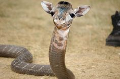 Giraffe Hybrid Animals Has Science Gone Too Far? Or Not Far Enough?