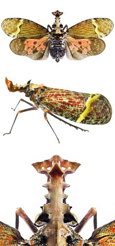 Phrictus quinquepartitus