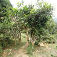 """SUOI GIANG, Vietnam Staring at a map showing the habitat of tea it is easy to see that the birthplace is a """"golden triangle"""" within the borders of three modern countries. The triangle is bounded by mountains south-west of Yunnan, …"""