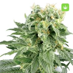 Double Gum Sensi seeds A sweet tasty flavor is just one of the many great qualities of this specialized cannabis strain. The taste and smell of Double Gum reminds one of traditional pink bubble-gum and a potency that make take you by surprise. Cannabis Vape, Buy Cannabis Seeds, Buy Cannabis Online, Medical Marijuana, Weed Buds, Autoflowering Seeds, Weed Strains, Weed Edibles, Ganja