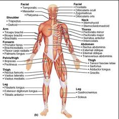 superficial+muscles+of+the+body+model+images | Chapter 10 Muscular System