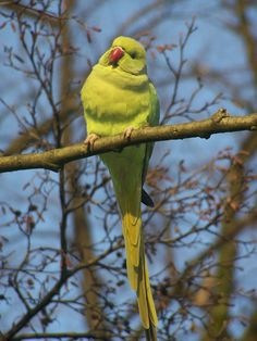 I Like Birds, Pretty Birds, Beautiful Birds, Parakeet Talking, Talking Parrots, Ring Necked Parakeet, Animals And Pets, Cute Animals, Parrot Pet