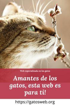 Conoce todo lo relacionado a los gatos, si eres un fan de los gatos como nosotros, entonces esta web es para ti, entra y descubre a estas hermosas mascotas. Gato Manx, Sphynx Gato, Bombay Gato, Gatos British, Cats, Movies, Movie Posters, Animals, Birman Cat