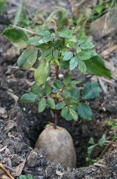 hodowla rozy (7)