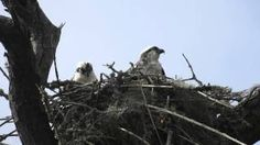 Osprey Nest Swaying in the Wind