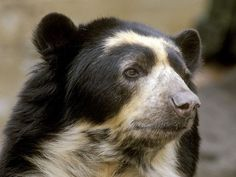Elusive in their mountain forest homes, the spectacled bear is the only species of bear in South America. Description from animals.nationalgeographic.com. I searched for this on bing.com/images