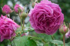 Rosa 'Souvenir de la Malmaison'   Flickr – Condivisione di foto!