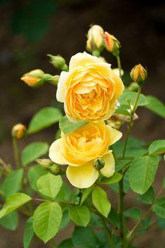 2012 Spring rose; Graham Thomas by shinichiro* via Flickr