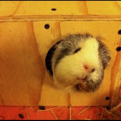 My guinea pig, Marbles, loving her new wooden house